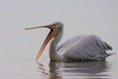 Dalmatische pelikaan Stock Afbeeldingen