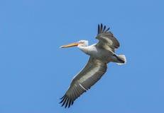Dalmatische pelikaan Stock Afbeelding