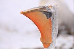 Dalmatische pelikaan Royalty-vrije Stock Foto's
