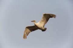 Dalmatische pelikaan Royalty-vrije Stock Fotografie