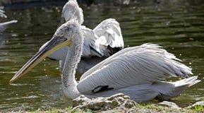 Dalmatische pelikaan 6 Royalty-vrije Stock Afbeelding