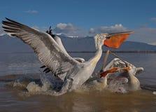 Dalmatische pelikaan Stock Foto