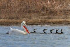 Dalmatische pelikaan en aalscholvers Royalty-vrije Stock Foto's