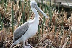 Dalmatische pelikaan (Pelecanus-crispus) Royalty-vrije Stock Foto's