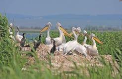 Dalmatische pelikaankolonie royalty-vrije stock foto's