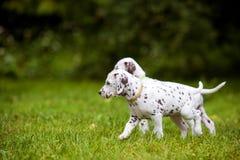 Dalmatische puppy die op gras lopen Royalty-vrije Stock Afbeelding
