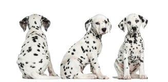 Dalmatische puppy die in verschillende posities zitten Stock Foto