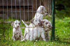 Dalmatische puppy in een kooi Royalty-vrije Stock Afbeeldingen