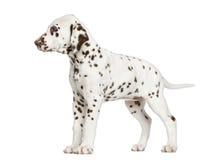 Dalmatische puppy geïsoleerde status, Royalty-vrije Stock Afbeelding