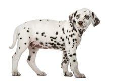 Dalmatische puppy status Stock Foto