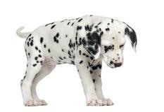 Dalmatische puppy status, die geïsoleerd, neer eruit zien Royalty-vrije Stock Fotografie