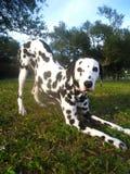 Dalmatische stokvoering royalty-vrije stock foto's