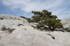 Dalmatyńska czarna sosna (Pinus nigra subsp dalmatica) zdjęcie stock