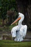 Dalmatyński pelikan Obraz Royalty Free