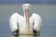 Dalmatyński pelikan Zdjęcia Stock