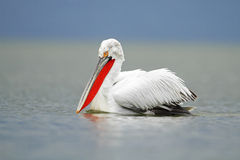 Dalmatyński pelikan Zdjęcie Royalty Free