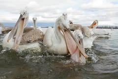 Dalmatyński pelikan Obrazy Stock