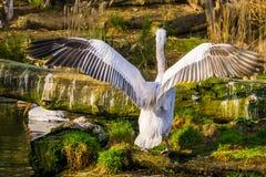 Dalmatyński pelikan od tylnego podesłania swój skrzydła blisko zagrażającego zwierzęcego specie od Europa i India, zdjęcia royalty free