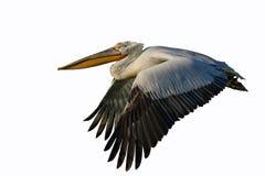 Dalmatyński pelikan /Pelecanus crispus/ Obrazy Stock