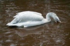 Dalmatyński pelikana połów w jeziorze Zdjęcia Royalty Free