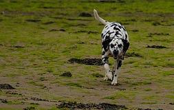 Dalmatyński pies na plażowym zakończeniu up Obrazy Stock