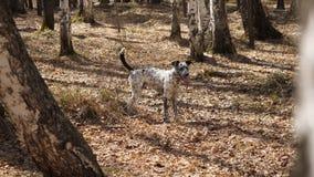Dalmatyński pies przy zmierzchem Dalmatyńscy spacery w parku w jesieni Obrazy Stock