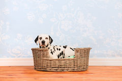 Dalmatyński psi kłaść w koszu fotografia stock