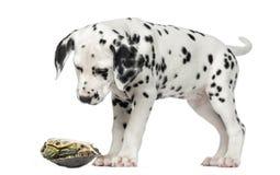 Dalmatyński szczeniak, patrzeje w dół przy żółwiem Zdjęcie Royalty Free