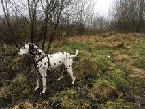 Dalmatyńska wielka poza na spacerze obraz stock