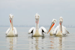 Dalmatyński pelikan Obraz Stock
