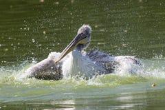 Dalmatyński pelikan ono myje w stawie obraz royalty free