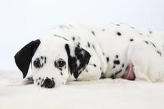 Dalmatyński szczeniak Obrazy Royalty Free