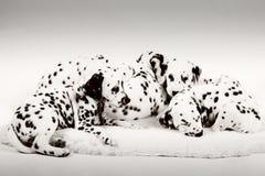 Dalmatyński szczeniak Zdjęcie Royalty Free