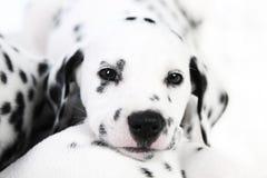 Dalmatyński szczeniak Fotografia Royalty Free