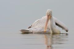 Dalmatyński pelikan Zdjęcie Stock