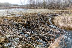 The dam along the top of the river has sprunbg some leaks, Beave. A long dam along the top of the pond has sprung some leaks and left work for the beavers to royalty free stock photo