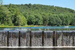 Dam Ducks Stock Image