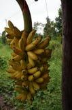 Dam Finger Banana Royaltyfri Fotografi