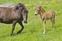 Dam with foal Royalty Free Stock Images