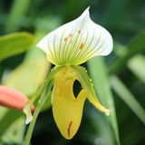 Dam Slipper Orchid Royaltyfria Foton