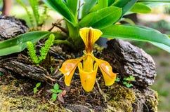 Dam Slipper Orchid, Orchidaceae, Paphiopedilumvillosum Arkivfoto