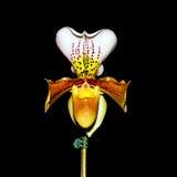 Dam Slipper Orchid Paphiopedilum Arkivbilder