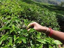 dam som går att bryta tebladslutsikt arkivfoton