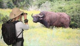 Dam Tourist på Safari Viewing en uddebuffel Royaltyfria Bilder