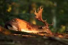 Dama Dama Фото было принято в чехию свободная природа Стоковое Фото