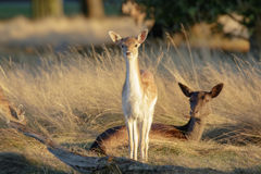 Dama dama e madre del fawn dei daini Fotografie Stock