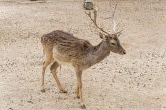Dama dama, Fallow deer Stock Image