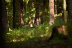 Dama dama. Photo was taken in the Czech Republic. Free nature. Royalty Free Stock Photography