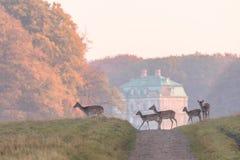 Dama de los ciervos en barbecho, del Dama, hembras y cervatillos cruzando el camino de tierra en Dyrehave, Dinamarca El palacio d imagen de archivo