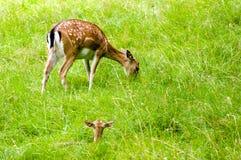 Dama del dama de los ciervos Fotografía de archivo